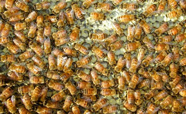 mehilaisia610