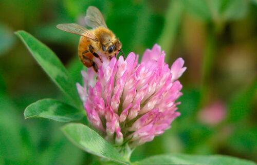 mehilainen-apilassa