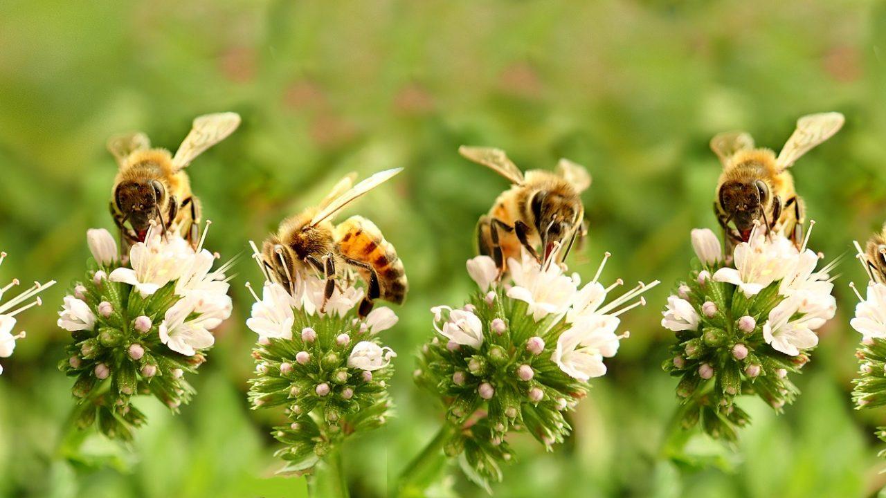 Mehiläiset hakevat mettä kukista