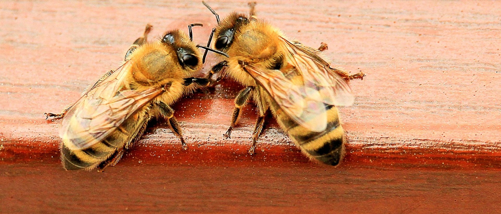 Kaksi mehiläistä