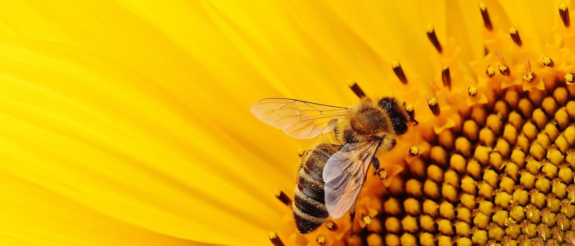 Mehiläinen auringonkukassa